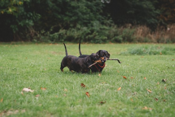 two-sausage-dogs-daschunds