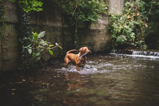 fox-red-labrador-in-water-with-stick