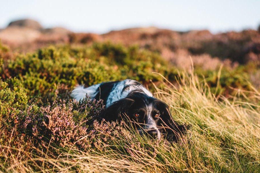 spaniel-pet-photoshoot-ilkley