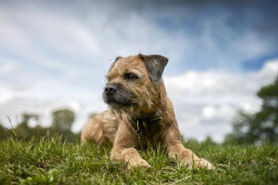 border-terrier-pet-photography-leeds