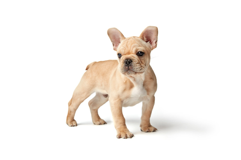 french-bulldog-puppy
