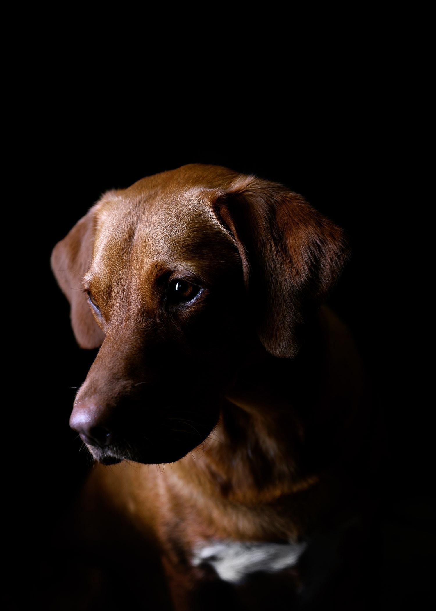 labrador-leeds-pet-portrait